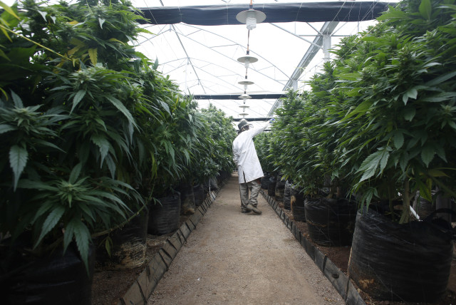 jpost.com - By  ZACHARY KEYSER - Israeli medical cannabis provider slated to export two tons to Australia