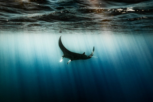 A manta ray is seen swimming off the coast of Eilat.
