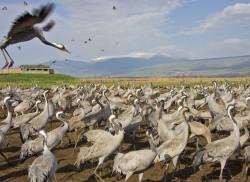 Migrating cranes staying in Hula Lake Park