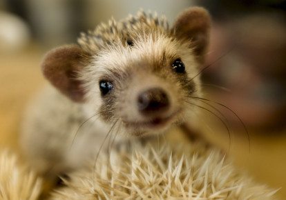 Hedgehog (photo credit: THOMAS PETER/REUTERS)