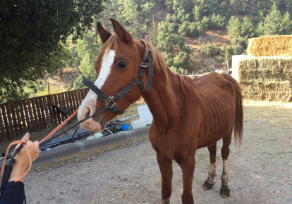 A starving horse being taken away from abusive owner / Courtesy Ministry of Agriculture (photo credit: YUVAL HADANI)