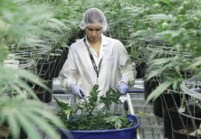COLLECTING CUTTINGS from cannabis plants at Hexo Corp's facilities in Gatineau, Quebec, Canada, on S