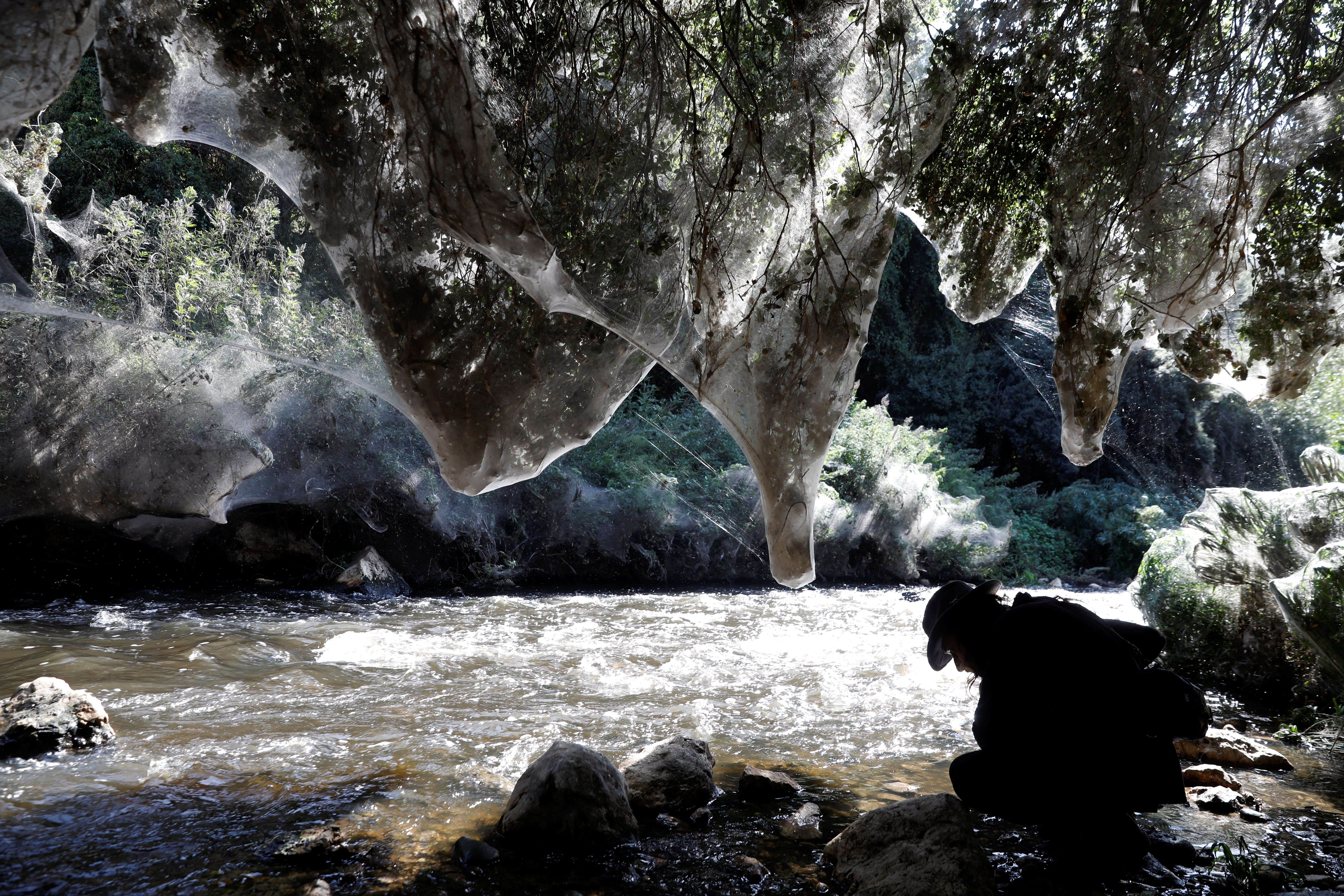 Igor Armicach, a doctoral student at Hebrew University's Arachnid Collection, looks onto giant spider webs, spun by long-jawed spiders (Tetragnatha), along the Soreq creek bank, near Jerusalem November 7, 2017. (Reuters/Ronen Zvulun)