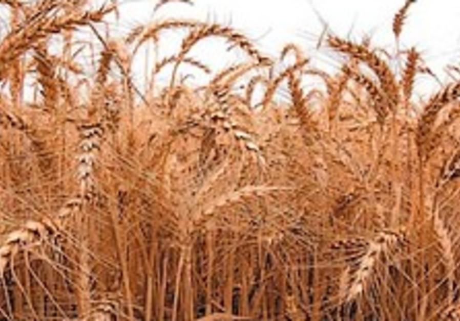 wheat field 88 298