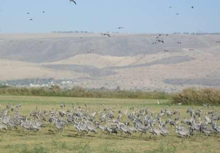 European cranes at Agmon Hula