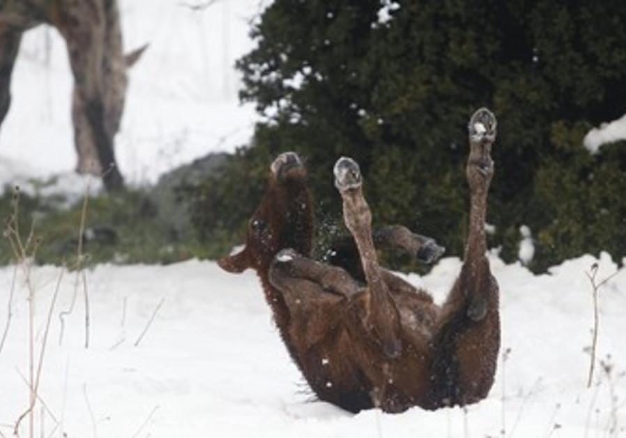a foal rolls in snow near kibbutz Ein Zivan