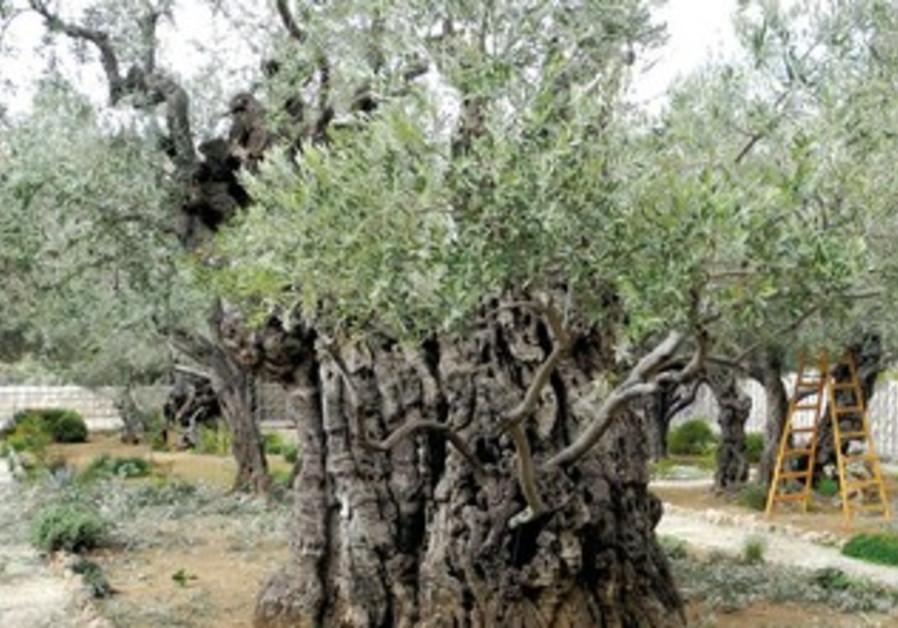 Olive trees in Gethsemane.