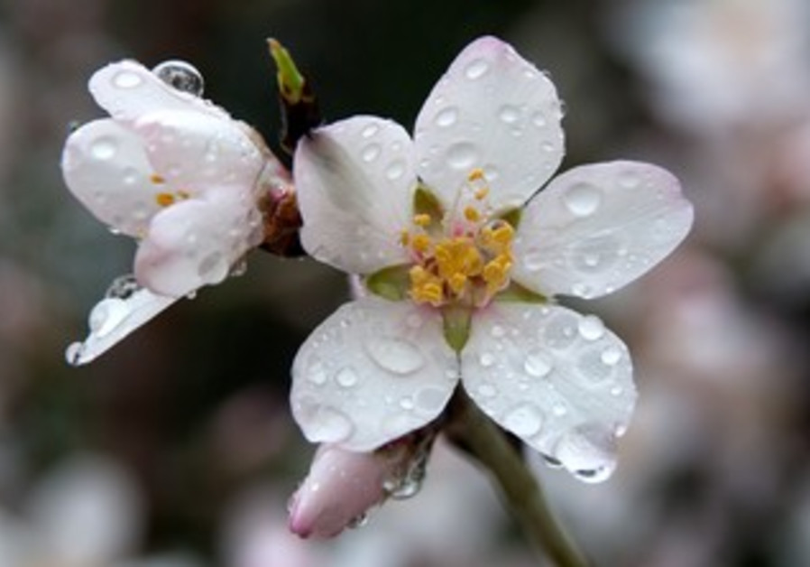 – Almond blossoms covered with beads of rain following a winter storm.