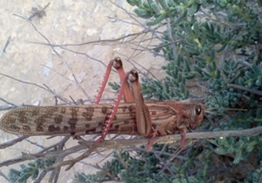 Locust photographed during last invasion into Israel in 2004