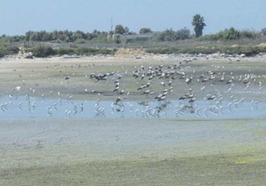 BIRDS GATHER at Ma'agan Michael.