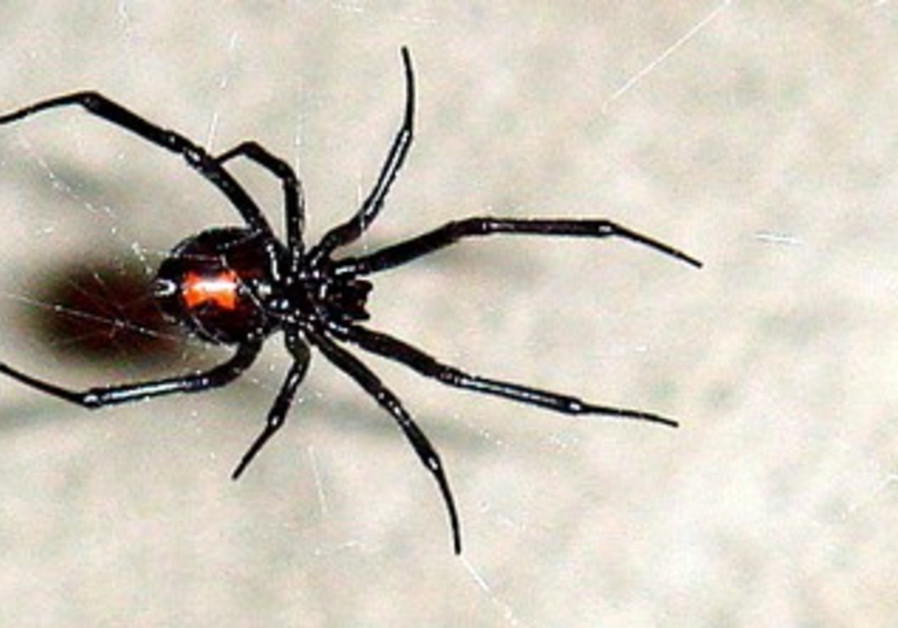A black widow spider's bite can cause serious reactions.