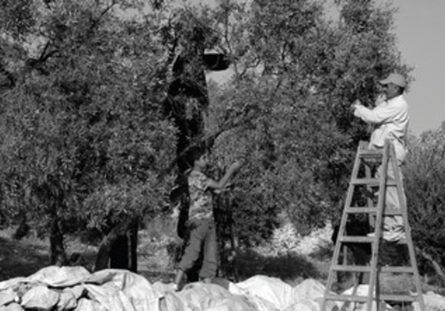 Palestinians picking olives
