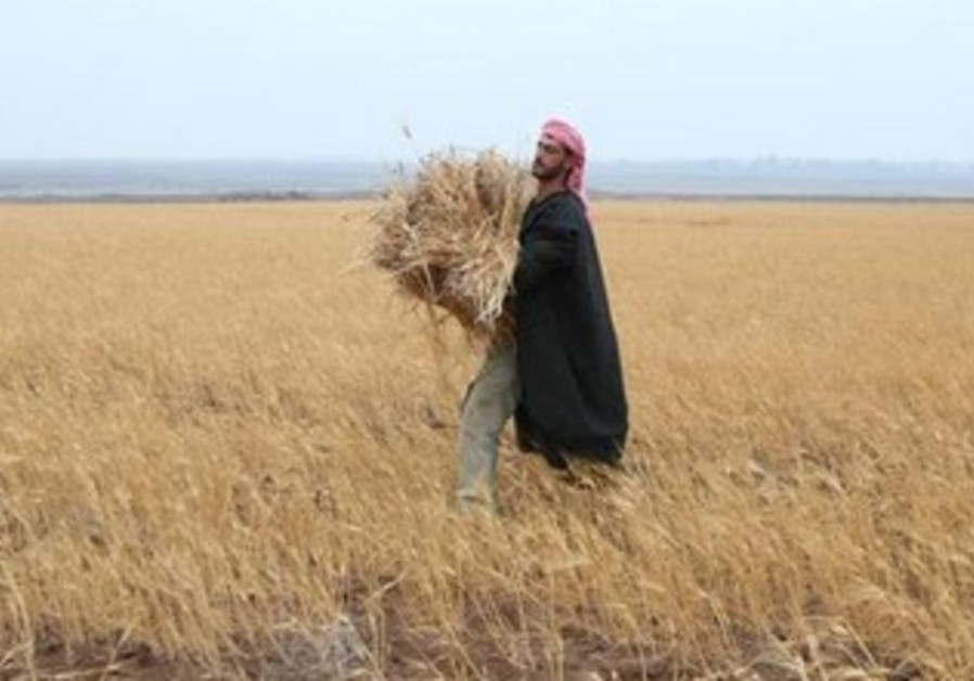A Syrian farmer works in his wheat field370
