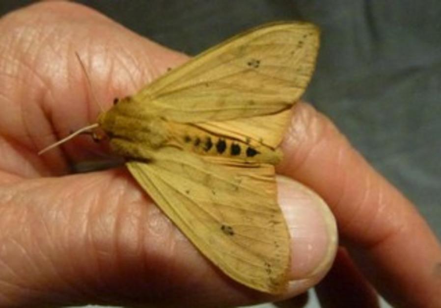 Isabella Tiger Moth.
