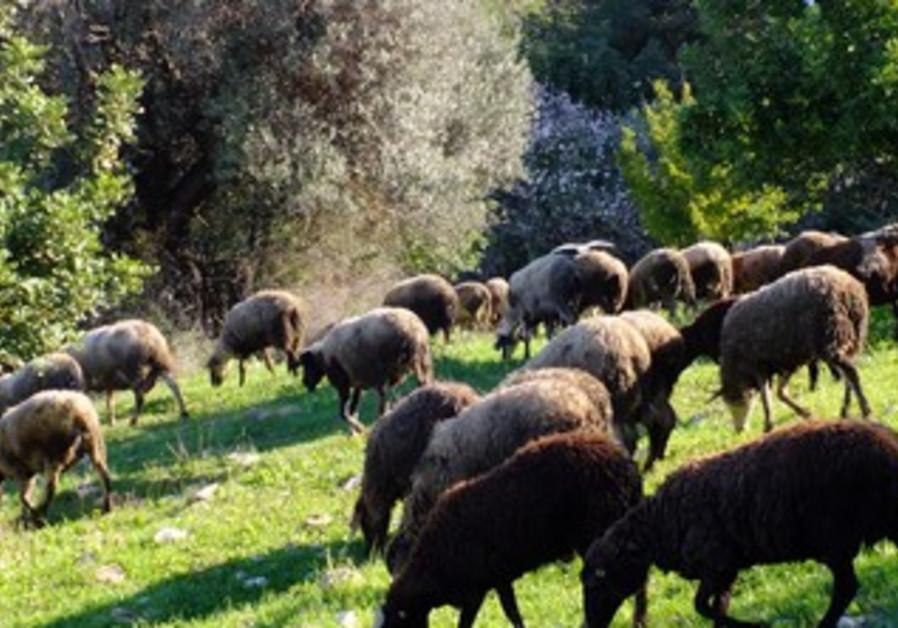 """Wanted: A Shepherd"""