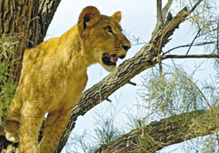 A lioness at the Zoological Center Tel Aviv-Ramat Gan