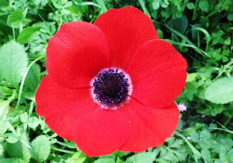 Calanit (anemone) flower