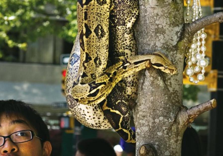 Boy looking at large snake