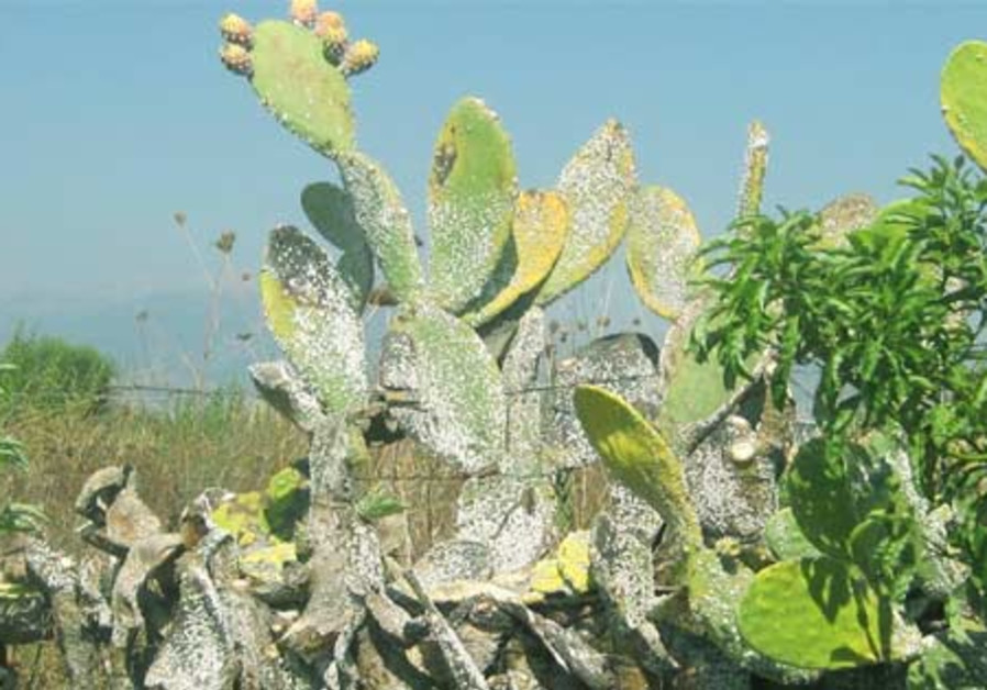 The prickly pear cactus is endangered