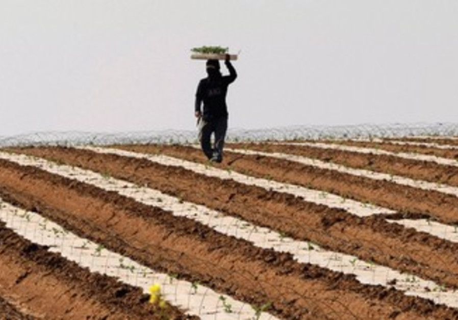 A THAI laborer works in a watermelon field near Sderot