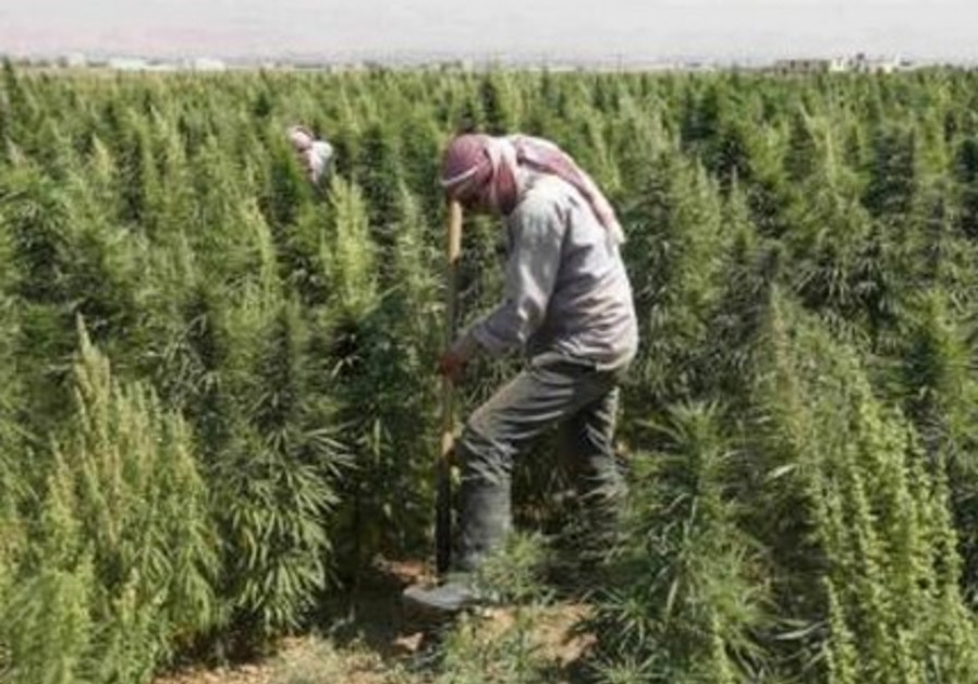 A man works in a field of cannabis at Hermel, Bekaa