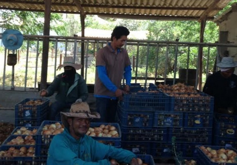 Thai farm workers packing onions in central Israel.