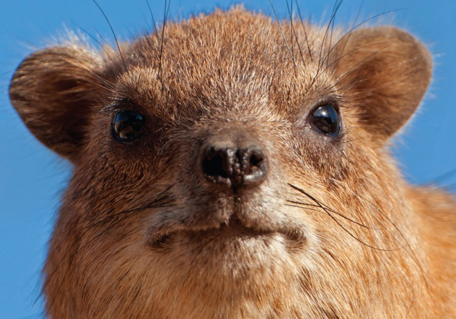 The little rock hyrax abounds in Israel