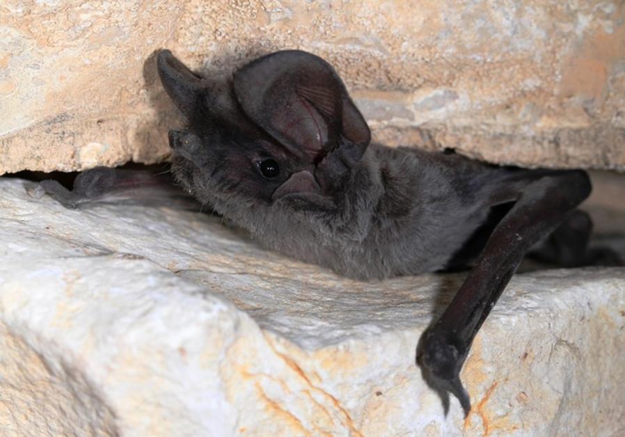 Israel bat colonies