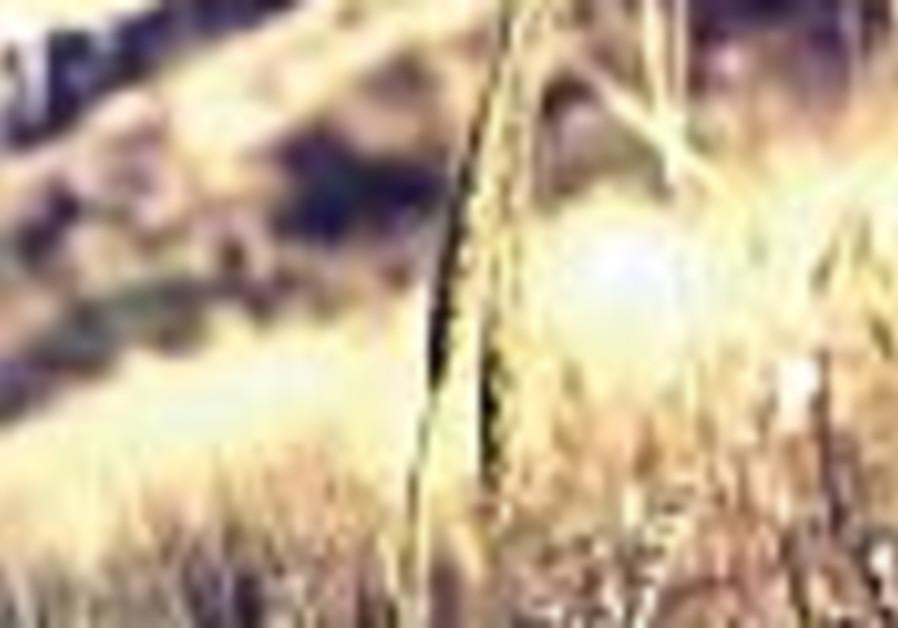 New Worlds: Wild wheat found near Negev
